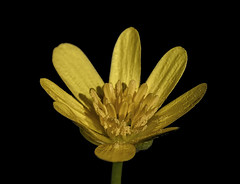 Lesser Celandine (Rattyman76) Tags: nikon d810 black background lessercelandine macro micro