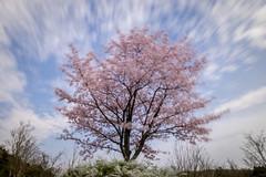 Waving Cherry Tree (nathanpjordan) Tags: nagoya aichi ndfilter longexposure cherrytree hanami morikorokoen japan