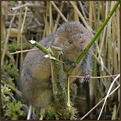 Water Vole (image 1 of 3) (Full Moon Images) Tags: rspb fowlmere nature reserve cambridgeshire wildlife animal mammal water vole
