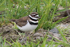 IMG_3468 Killdeer - Charadrius vociferus (Jon. D. Anderson) Tags: birdsofwashington bird washingtonbirds killdeer charadriusvociferus plover shorebird