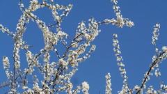 SPRING TO THE SKY AND BACK (22MAIMU) Tags: nature sky spring springtime springbeauty flower springflowers bloom albero alberofiorito primavera fiore cielo arbre arbreenfleurs fleur printemps arbol arbolenflor flor ciel ceu arvore árvoredeflorescência bahar
