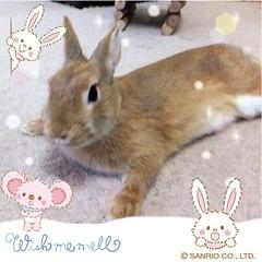 ICHIGO san 16 (Ichigo Miyama) Tags: いちごさん。うさぎ ichigo san rabbit bunny netherland dwarf brown ネザーランドドワーフ ペット いちご うさぎ