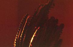 sunrise (m_travels) Tags: analog technique redscale homemade selfmade diy lomography800 reversesideofthefilm 35mmfilm argentique filmphotography cactus cactii plant sunrise goldenlight experimental flippedfilm mood