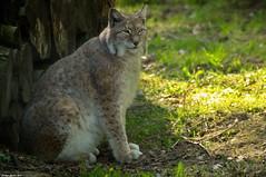 Lynx (Phil du Valois) Tags: lynx félin faune prédateur carnassier sauvage