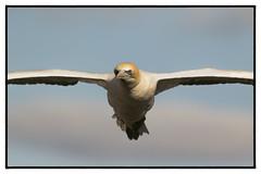 Angry Bird (muzza_buck) Tags: gannet australasian muriwai auckland new zealand seabird sigma 150500