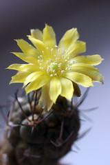 Weingartia kargliana (pazzapped) Tags: weingartia kargliana cactus flower blossom yellow spines