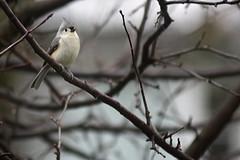 Tufted Titmouse (joeldinda) Tags: nikon d500 nikond500 2017 branch tree home mulliken potter yard weather rain bird titmouse 3517 march