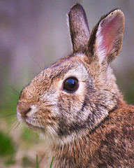 MH_127 (亞雲 Ed Lee) Tags: nikon d600 outdoor morning backyard portrait color colour closeup bokeh depthoffield animal mammal hair hare rabbit bunny fur cute ear eye spring 200500mm 56e
