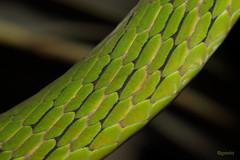 Skin of Aggressive Green Vine Snake (ggeeta) Tags: greenvinesnake canon macro wildlife geetagodbole ggeeta india