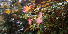 ILCE-6000-06656-20170415-1426-Pano // Carl Zeiss Jena Tessar 50mm 1:2.8 (Otattemita) Tags: 50mmf28 carlzeissjena carlzeissjenatessar50mmf28 florafauna fauna flora flower nature plant wildlife carlzeissjenatessar50mm128 sony sonyilce6000 ilce6000 50mm cnaturalbnatural ota