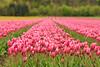 hollands-glorie (Don Pedro de Carrion de los Condes !) Tags: donpedro d700 tulpen geestgronden tulips flowers bulbs dutch pride hollands agrarisch agrarischeattractie bezienswaardigheid bloei bloeien bloeiend bloembedden bloembol bloembollen bloembollenteelt bloemen bloemenpracht bloemenzee bol bolgewas bollenbedrijf bollenkweker bollenstreek bollenteelt bollenveld bollenvelden noordholland fietsroutefleurig flora holland kleur kleuren kweken landschaplente natuur platteland polder polderlandschap recreatie rij rijen rood roze telen toerisme tulipa tulp tulpenroute tulpenveld tulpenvelden voorjaar weids