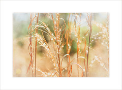 Golden Hours ~ (FLGalleria) Tags: canon nature golden sunshine bokeh grasses depthoffield ethereal soft dreamy pastel magicunicornverybest ie pinnaclephotography
