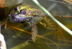 Frog and the Dragonfly  Larvae. (pstone646) Tags: marshfrog amphibian nature animal wildlife pond water closeup fauna kent