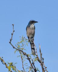 Jay (dan.weisz) Tags: oraclestatepark jay scubjay woodhousescrubjay corvid bird