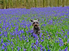 Bluebell Beast (baxter.ad) Tags: bluebells west sussex angmering dogs pets wild forest woods england uk flowers scent blue