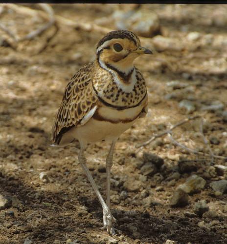Three-banded Courser Pafuri, Kruger National Park  061