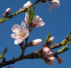Showy peach bloom (msuanrc) Tags: fruit peach peaches fullbloom peachatfullbloom showypeachbloom