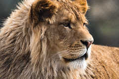 African Lion 66 (cypher40k Photography) Tags: africanlion bigcat color colour junglecatworld lion mane nikon zoo