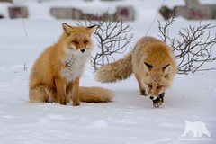 Mr.& Mrs. Red Fox (fascinationwildlife) Tags: animal mammal red fox wild wildlife fuchs rotfuchs pair nature natur north northern notsuke peninsula japan asia snow winter cold coast hokkaido