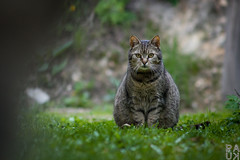 On guard (PaukSK) Tags: cat canon eos m5 adapter ef guard grass green sitting outside nature catsitting pose posture lookout keeper looking out guardian