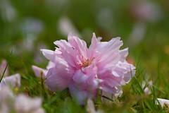 Fallen (hippyczich) Tags: blossom fallen pink grass garden