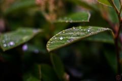 ILCE-6000-06835-20170416-1529 // Meyer-Optik Gorlitz Oreston 50mm 1:1.8 (Otattemita) Tags: 50mmf18 florafauna görlitz meyeroptik meyeroptikgörlitzoreston50mmf18 oreston fauna flora flower nature plant wildlife meyeroptikgorlitzoreston50mm118 sony sonyilce6000 ilce6000 50mm cnaturalbnatural ota