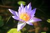 Water Lily in pink (Heaven`s Gate (John)) Tags: water lily pink flower botanical grenada johndalkin heavensgatejohn thecalabash yellow blue sunshine green