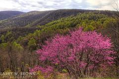 The Mountains Are Awakening (Larry W Brown) Tags: shenandoahnationalpark virginia redbuds easternredbuds spring blueridgemountains