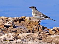 Bisbita alpino (Anthus spinoletta) (11) (eb3alfmiguel) Tags: aves pajáros insectívoros passeriformes motacillidae bisbita alpino