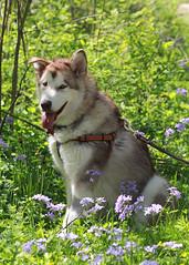The Rogue One (RPahre) Tags: alaskanmalamute malamute dog wildflowers portrait robertallertonpark allertonpark allerton