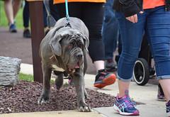 Wrinkled and Walking (MTSOfan) Tags: fundraising stewardship multiplesclerosis ms community awareness hersheypa walk cure dog wrinkles miltonhersheyschool
