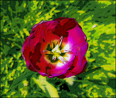 Tulips in bloom (tim constable) Tags: spring summer flowers garden botanical warm happy fuzzy tulip perennial red purple green grass open bloom blooming timconstable bulbous petals tepals sepals leaves stamen nationaltrust dyrhampark gardens display uk britain england pollen