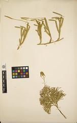 Anglų lietuvių žodynas. Žodis family lycopodiaceae reiškia šeimos lycopodiaceae lietuviškai.