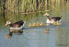 Grauwe Ganzen met jonge gansjes (ditmaliepaard) Tags: grauweganzen jongegansjes vogels birds heusden a6000 sony ngc npc
