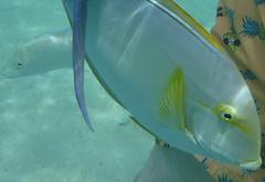 Hanauma-21 (jebigler) Tags: oahu hawaii2017 hanaumabay yellowfinsurgeonfish unitedstates hawaii honolulu 7455kalanianaolehighway