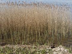 Eend (ericderedelijkheid) Tags: naardermeer nederland netherlands noordholland naarden bussum gooisemeren eend duck riet april nature