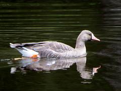 Moresby goose (westietess) Tags: moresbypond birds april