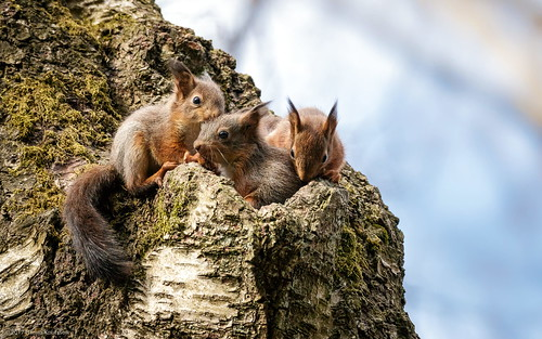 Three Juvenile Red Squirrels