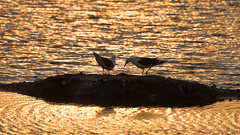 Lesser Black-backed Gulls at dawn (Tony McLean) Tags: ©2017tonymclean tophilllow eastyorkshire naturephotography wildlifephotography nikond4 nikon500f4gvr dawn dawnlight lesserblackbackedgull