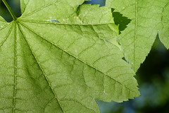 Vine Maple (Tzacol) Tags: vinemaple maple tree leaf leaves beautiful wallpaper forest woods green