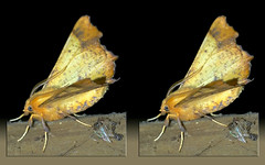 Ennomos Magnaria, Maple Spanworm Moth - Parallel 3D (DarkOnus) Tags: pennsylvania buckscounty huawei mate8 cell phone 3d stereogram stereography stereo darkonus closeup macro insect ennomos magnaria maple spanworm moth parallel
