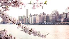 Bloom (Tim Drivas) Tags: newyorkcity cherryblossoms spring nyc selectivefocus gothamist skyline manhattan rooseveltisland flowers flowering canon outdoor