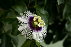Flower of the five wounds (andressierra2) Tags: passion flowers nikon nikond3300 purple botanical green lightroom