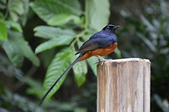 White-rumped Shama (Copsychus malabaricus) (Seventh Heaven Photography) Tags: white rumped whiterumpedshama shama bird copsychus malabaricus copsychusmalabaricus muscicapidae nikond3200 songbird