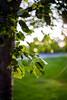 Imperfección (Imperfection) (Dibus y Deabus) Tags: gijon asturias españa spain imperfeccion imperfection brillo brigthness naturaleza nature arbol tree hoja sheet canon 6d helios44