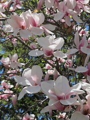 IMG_2120 (quirkyjazz) Tags: trees clouds spring lookingup magnolias blueskky