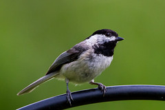 IMG_8873 (Ricky Floyd) Tags: red chickadee canon7d