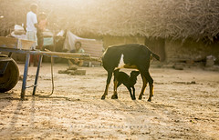 Mother's Love (www.akilselvan.com) Tags: food sunrise milk nikon goat chennai sunnyday cwc motherslove d7000 chennaiweekendclickers akilselvan meppur akilselvanphotography