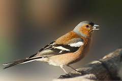 145 of 365 Chaffinch (Explored) (linlaw39) Tags: life bird nature oneaday closeup scotland spring aberdeenshire wildlife explore chaffinch lindal aperturepriority mintlaw explored 2013 145365 356project canoneos500d ef75300mmf456usm adencountrypark day145365 may2013 project3652013 3652013 365the2013edition 365project2013