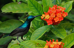 """Do I need a straw ?! No thanks, I have brought one with me. Thanks for the drink, anyway !"" (GOPAN G. NAIR [ The World through my Lens ]) Tags: nectar sunbird asiatica nectarinia purplesunbird"